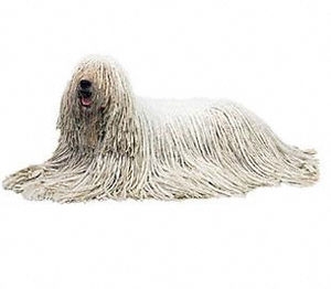 Komondor - A fully corded coat. The coat is long, thick and strikingly corded