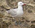 8 / Audouin's Gull