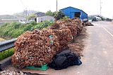 Korea-Goheunggun-Garlic harvest 4209-06.JPG