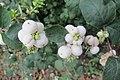Korina 2014-09-29 Symphoricarpos albus 1.jpg