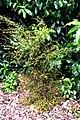 Kunzea serotina in Auckland Botanic Gardens.jpg