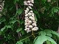 Kwitnący kasztanowiec - panoramio (1).jpg