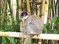 Lémur mangouste, Madagascar.jpg