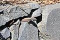 La Palma - Garafía - LP-1 - Parque Cultural La Zarza - Gallotia galloti palmae 05 ies.jpg