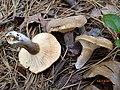 Lactarius petersenii Hesler & A.H. Sm 538128.jpg