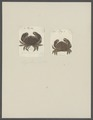 Lagostomus perlatus - - Print - Iconographia Zoologica - Special Collections University of Amsterdam - UBAINV0274 094 16 0003.tif