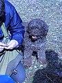 Lagotto Romagnolo à la recherche de truffes (2).jpg