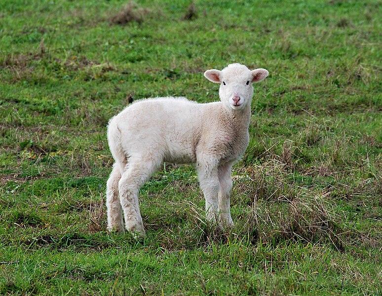 File:Lamb January 2007-1.jpg