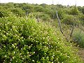 Lantana Invasion of abandoned avocado plantation 03.jpg