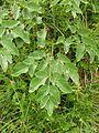 Laserpitium latifolium 2005.08.03 10.55.50.jpg