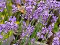Lawenda. Lawenda wąskolistna. Lawenda lekarska. (Lavandula angustifolia) 01.jpg