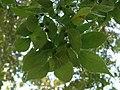 Leaf of Celtis australis 08.jpg