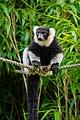 Lemur (36710213051).jpg
