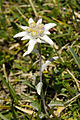 Leontopodium alpinum Stëila dla Elpes te Ncisles.jpg