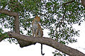 Leopard (Panthera pardus) female in a tree (16457443325).jpg