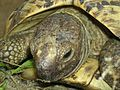 Leopards tortoise.jpg