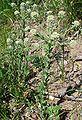 Lepidium campestre W.jpg