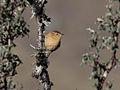 Leptasthenura yanacensis Peru 2.jpg