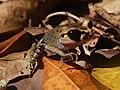 Leptobrachium hasselti, Cibunar, Taman Nasional Ujung Kulon, 07082014.jpg