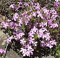Leptodactylon californicum 1.jpg
