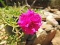 Les fleurs de Siwa - panoramio (1).jpg