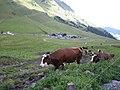 Les vaches du col des aravis - panoramio.jpg