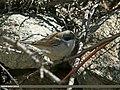 Lesser Whitethroat (Sylvia curruca) (23011072975).jpg
