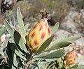 Leucadendron rubrum f Nicola van Berkel 1.jpg