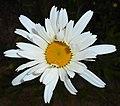 Leucanthemum superbum 2015-06-20 3302.jpg
