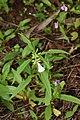 Leucas aspera-തുമ്പ, നീലിയാർകോട്ടത്ത് നിന്നും.jpg