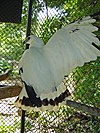 Leucopternis albicollis -Escuintla -Guatemala-8a