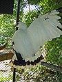 Leucopternis albicollis -Escuintla -Guatemala-8a.jpg