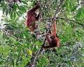 Leuser-orangs 09N8683.jpg