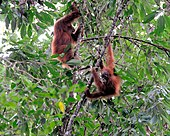 Two orangutans swinging on tree branches