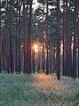 Lieberoser Heide Pinus sylvestris 28.JPG