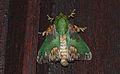 Limacodid Moth (Parasa pastoralis) (8684264288).jpg