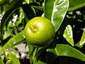 Lime (7289090988).jpg