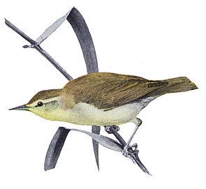 Swainson-Waldsänger (Limnothlypis swainsonii)