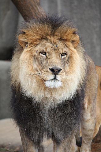 National symbols of England - Image: Lion 2010
