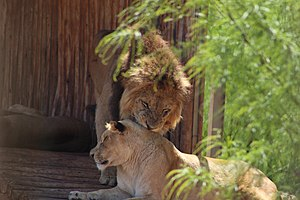 Lion and lioness at the zoo of Rabat, Morocco.jpg
