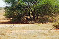 Lions lounging the in shade during the hot part of the day (5232096409).jpg