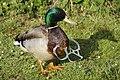 Litter duck.jpg