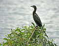Little Cormorant on Earpod wattle I IMG 8071.jpg