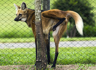 A maned wolf urinating on a tree to mark his territory Lobo Guara urinating on tree.jpg