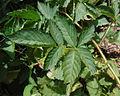 Loganberry, primocane leaf.jpg