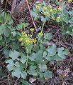 Lomatiumlucidum.jpg