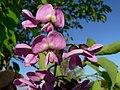 Lonchocarpus punctatus Fleurs.JPG