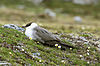 Long-tailed Skua, Svalbard 1.jpg