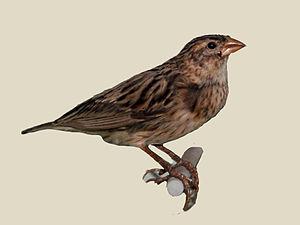 Long-tailed widowbird - Female specimen   Nairobi National Museum