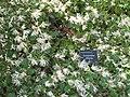 Loropetalum chinense (Serres de la Madone).jpg